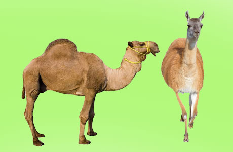 Lama and Camel might help in fighting Corona