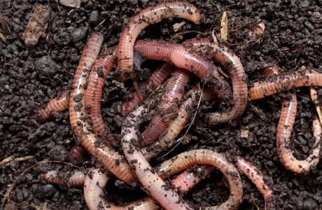 SHGs start selling earthworms for vermicompost