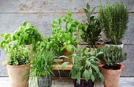 Competition on herbs and their quality