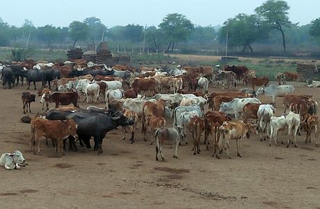 भविष्य के लिए खतरा हैं जंगली गायों के झुण्ड : डॉ नायक
